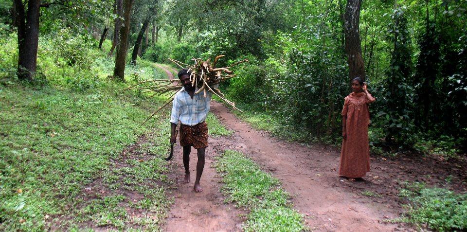 Harvesting Lantana